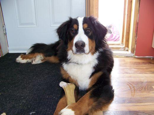 puzzle chien bouvier bernois jeu de jeu de puzzle gratuit en ligne vos puzzles. Black Bedroom Furniture Sets. Home Design Ideas
