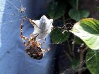 Araignée et sa victime