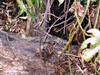 Costa Rica : Iguane