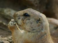 Zoo d'Amnéville : Marmotte