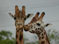 Zoo d'Amnéville : Bisou Girafe