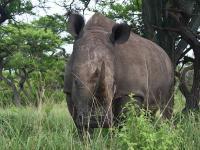Afrique du Sud : Rhino