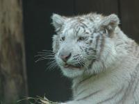 Zoo d'Amnéville : Tigre blanc