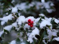 Houx dans la neige