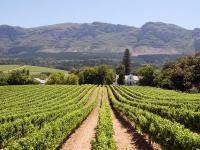 Afrique du Sud : Vignes