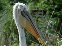 Zoo d'Amnéville : Pélican