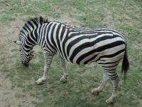 Zoo d'Amnéville : Zèbre