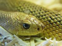 Reptiles : Serpent