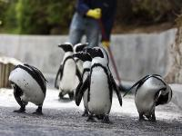 Afrique du Sud : Pingouins