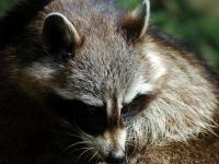 Zoo d'Amnéville : Raton laveur