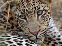 Afrique du Sud : Leopard