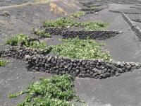 Plantation de vigne