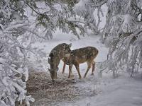 Cervidés dans la neige
