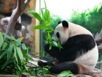 Le repas du panda