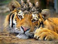 Lion et chatons