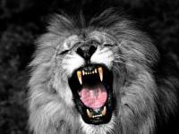 Lion noir lion blanc