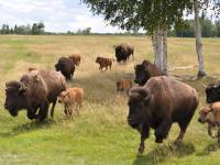 Un troupeau de bisons