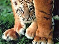 Tigremathys